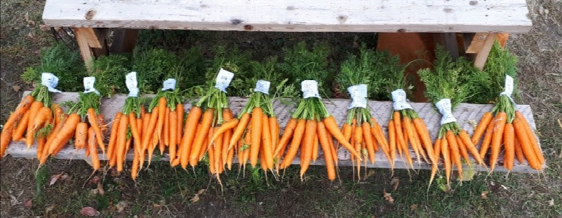 bunches of carrots lined up for variety trial