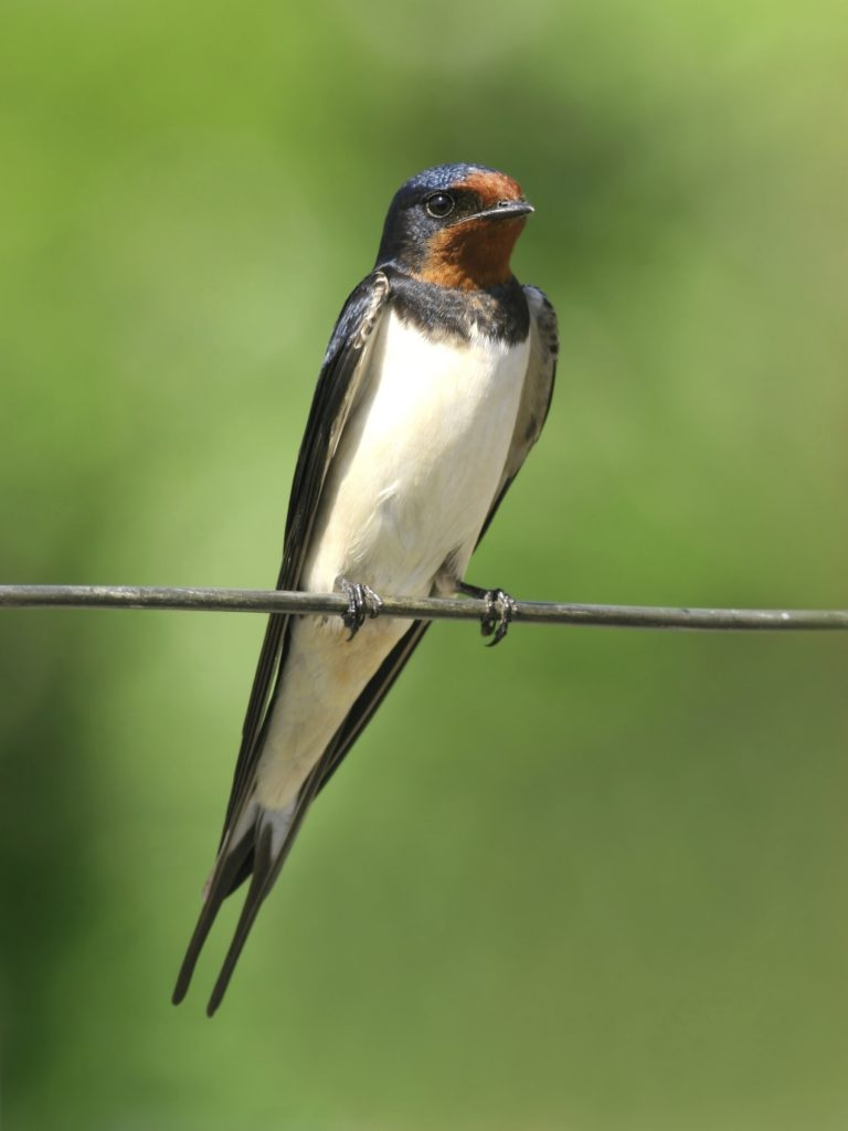 Save Our Swallows Campaign from Nature Canada